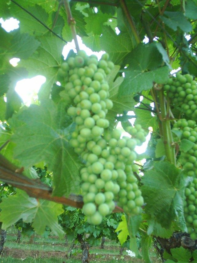Oregon Vineyard by h. wilson