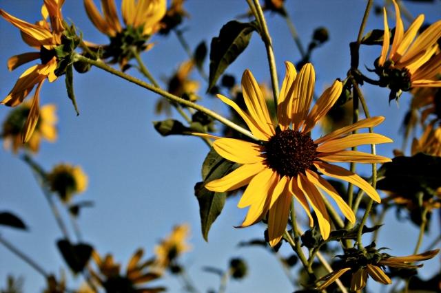 Sunflower Blooms by h.wilson